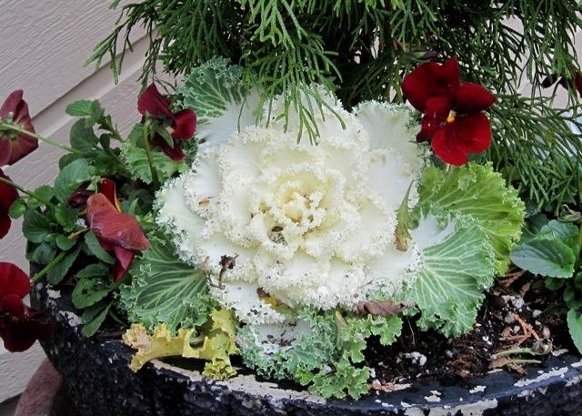 beautiufulcabbage